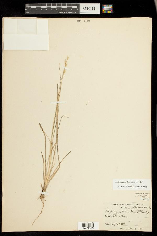 Danthonia decumbens image