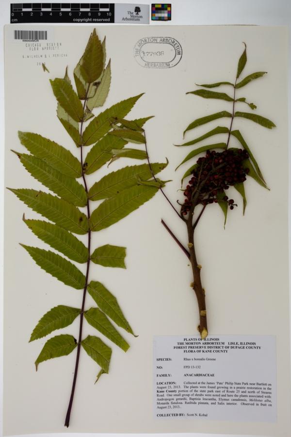 Rhus × borealis image