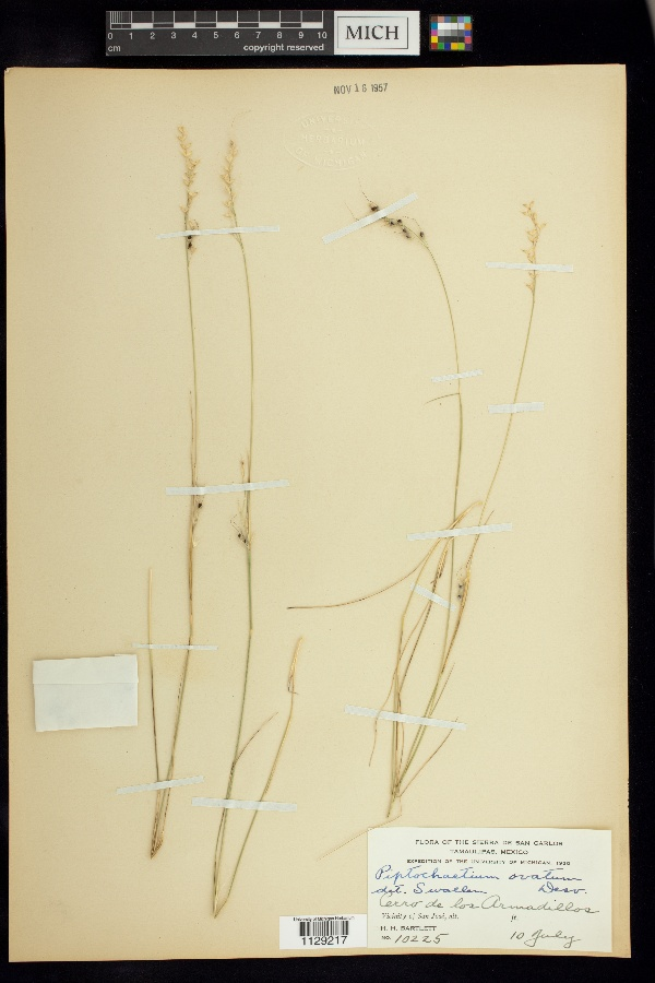 Piptochaetium ovatum image