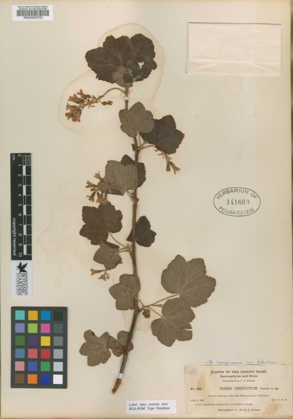 Ribes deductum image