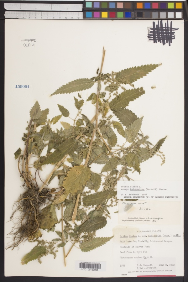 Urtica dioica subsp. holosericea image