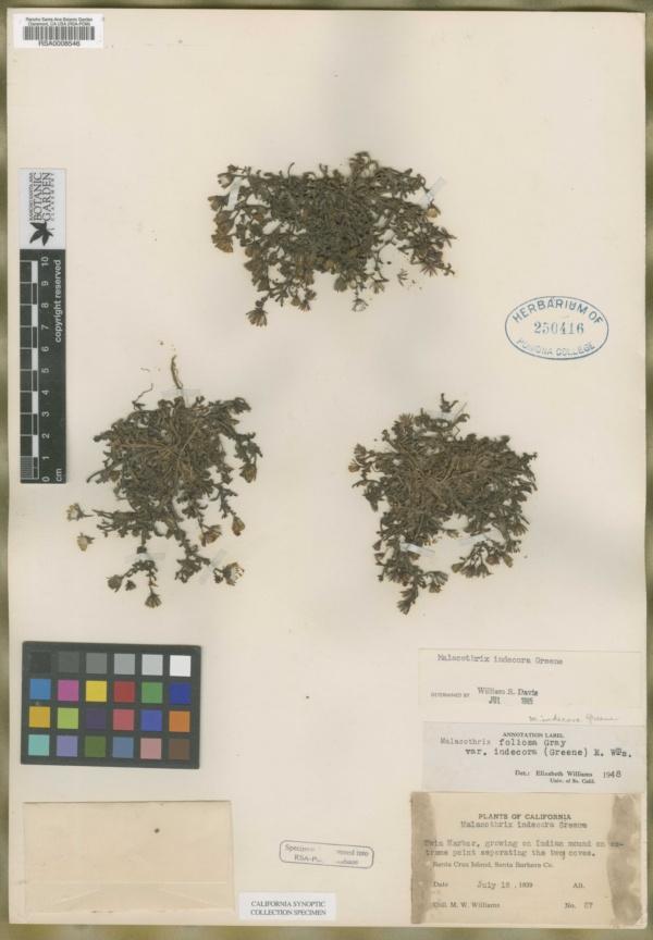 Malacothrix indecora image