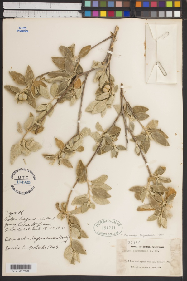 Bernardia lagunensis image