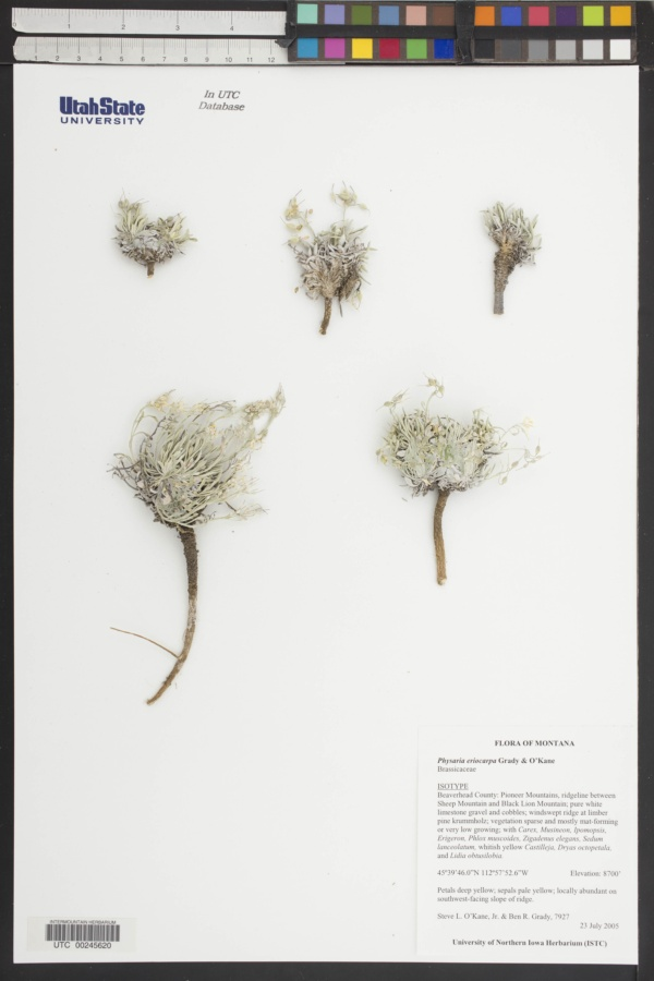 Physaria eriocarpa image