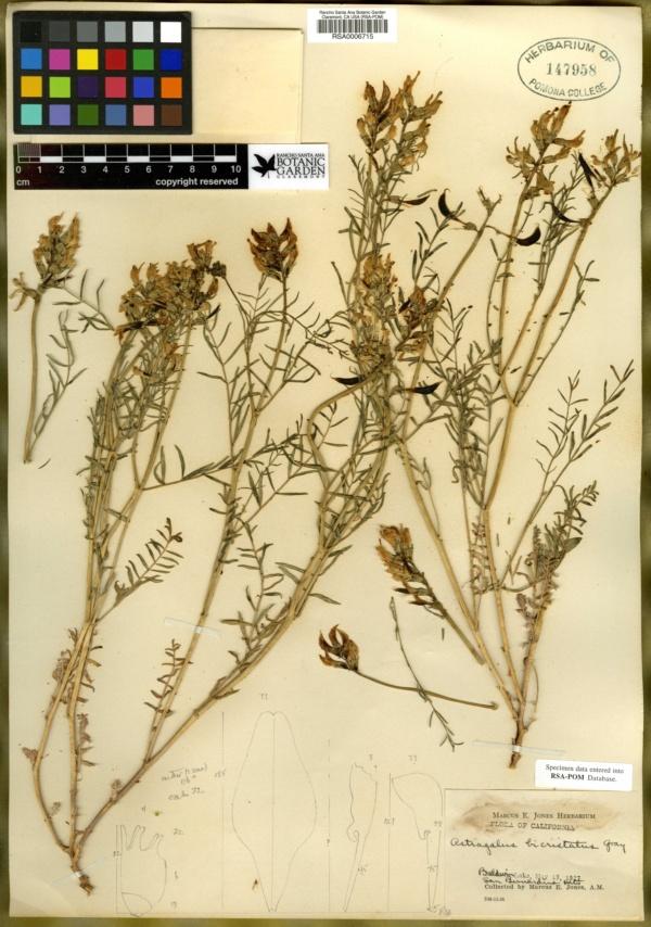 Astragalus bicristatus image