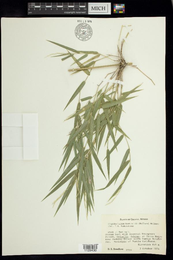 Rhipidocladum bartlettii image
