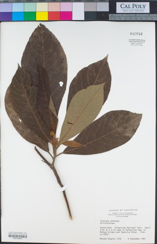 Saurauja image