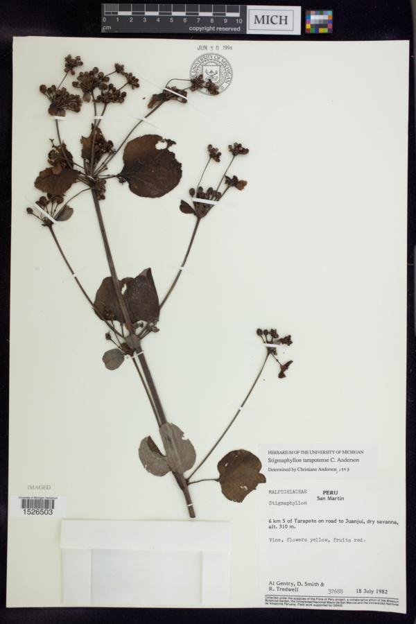 Stigmaphyllon tarapotense image