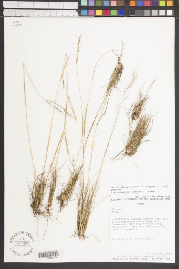 Piptochaetium indutum image