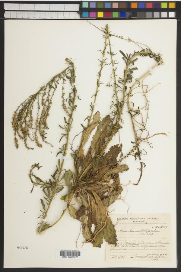 Anarrhinum bellidifolium image