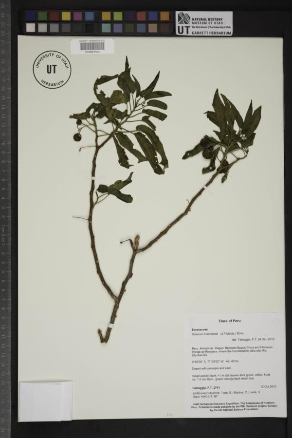 Solanum hutchisonii image