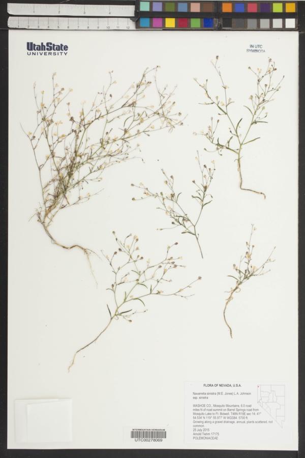 Navarretia sinistra subsp. sinistra image