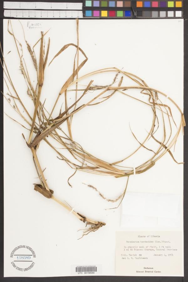 Pennisetum hordeoides image