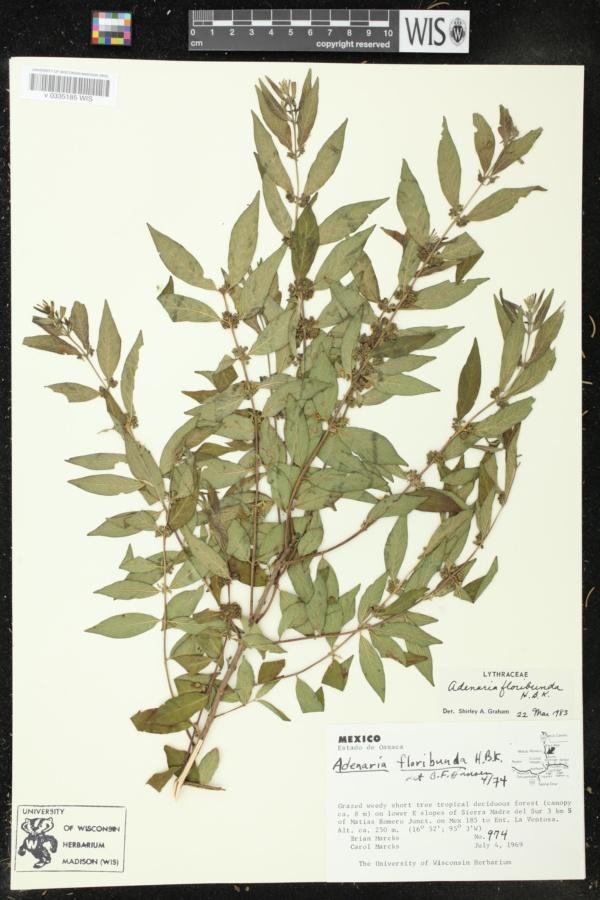 Adenaria image