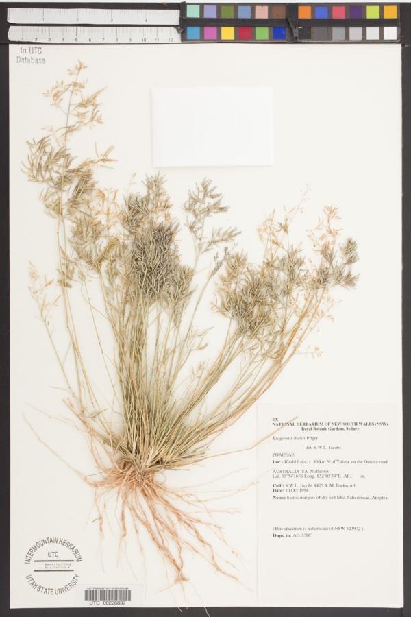 Eragrostis dielsii image