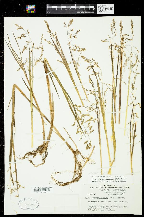 Colpodium fulvum image