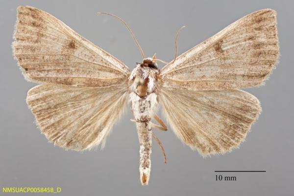Lygephila victoria image
