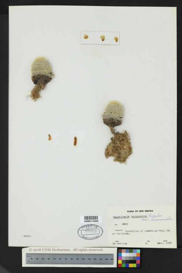 Mammillaria lasiacantha subsp. lasiacantha image