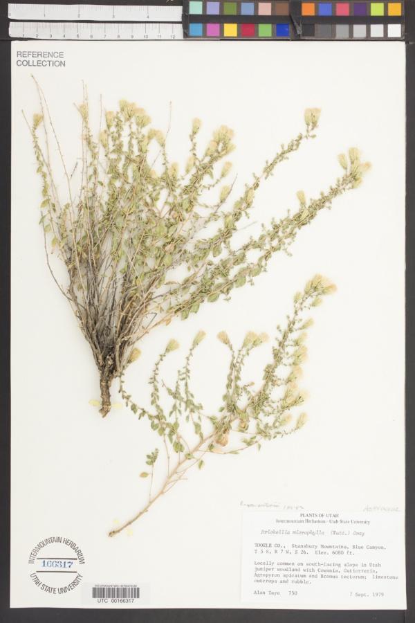 Brickellia microphylla var. watsonii image