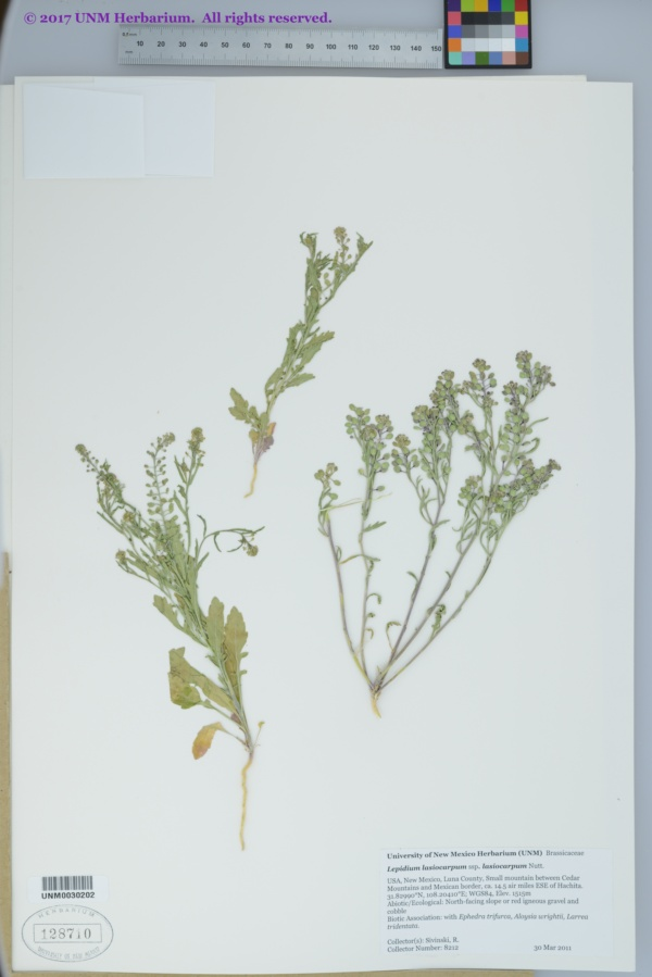 Lepidium lasiocarpum var. lasiocarpum image