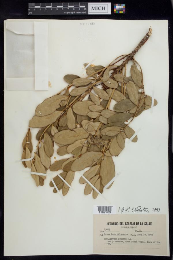 Phyllanthus cinctus image