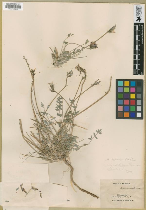Astragalus tephrodes var. chloridae image