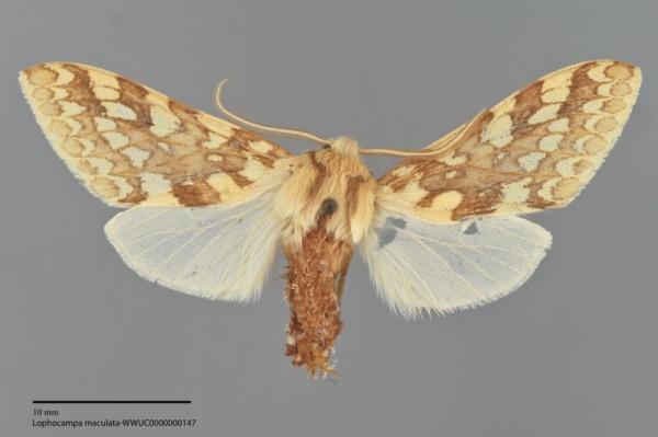 Lophocampa maculata image