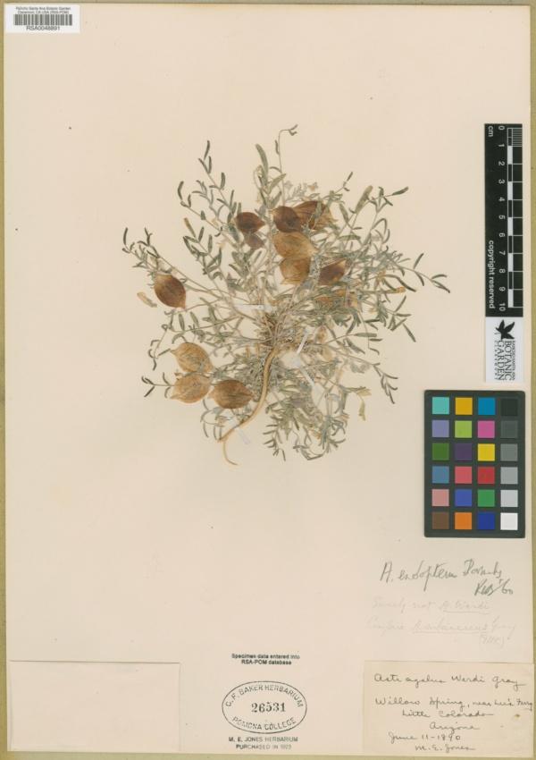 Astragalus endopterus image