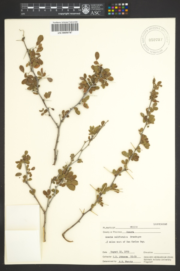 Acacia californica image