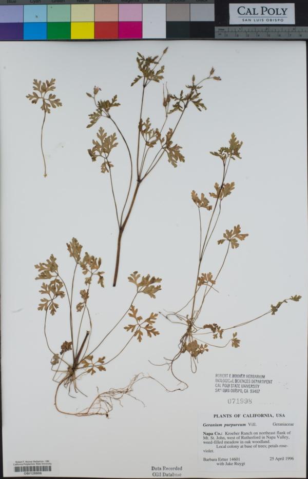 Geranium purpureum image