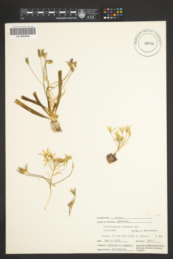 Ornithogalum montanum image
