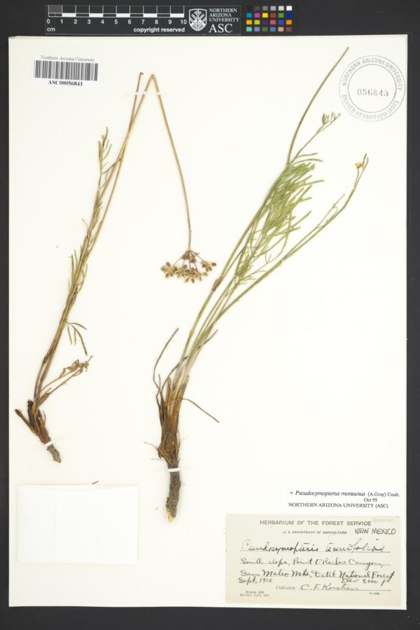 Pseudocymopterus tenuifolius image