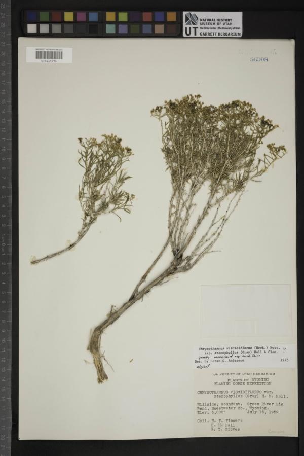 Chrysothamnus viscidiflorus var. stenophyllus image
