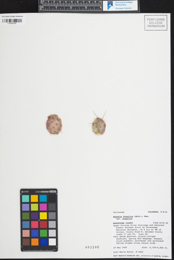 Opuntia fragilis var. fragilis image