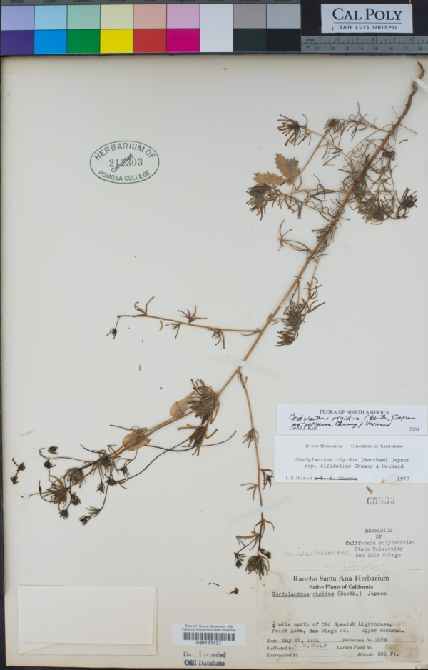 Cordylanthus image