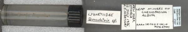 Bucculatrix image