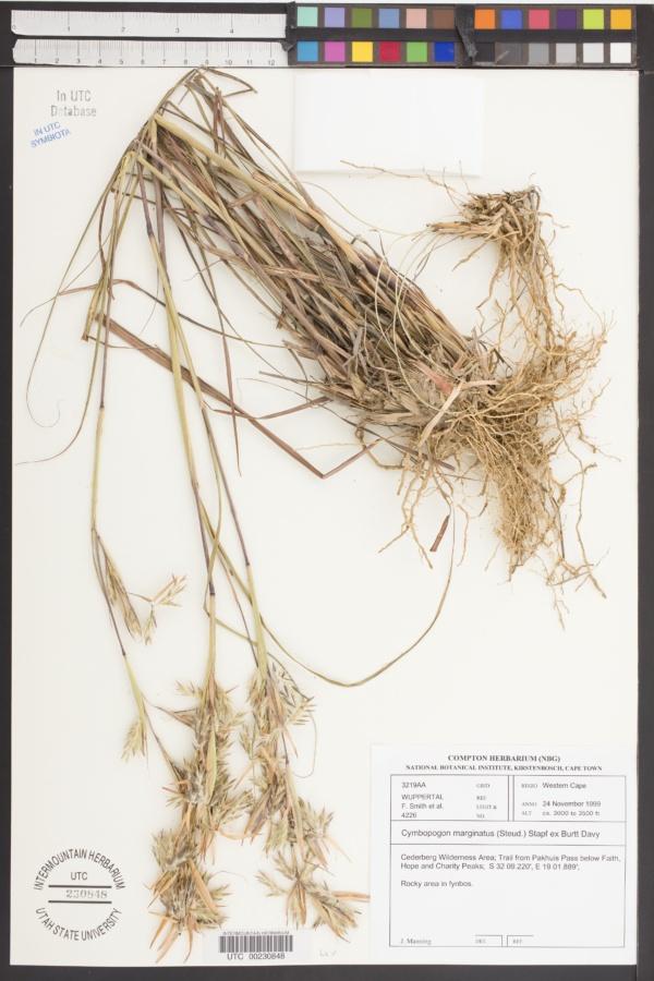 Cymbopogon marginatus image