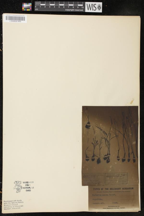 Herbertia image