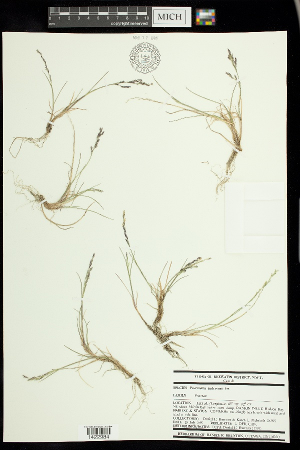 Puccinellia andersonii image