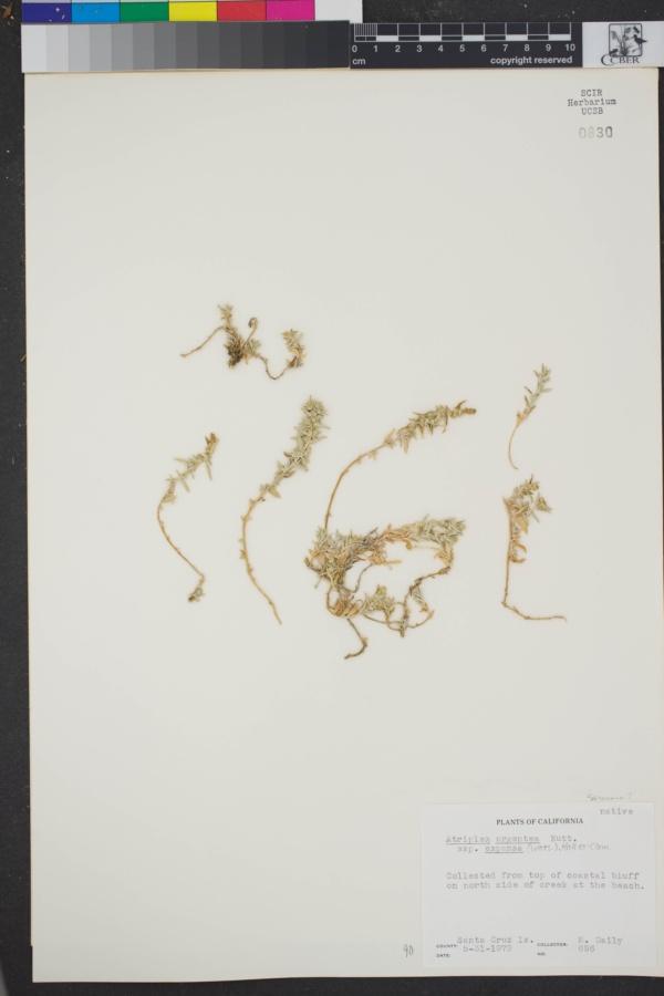 Atriplex argentea var. mohavensis image