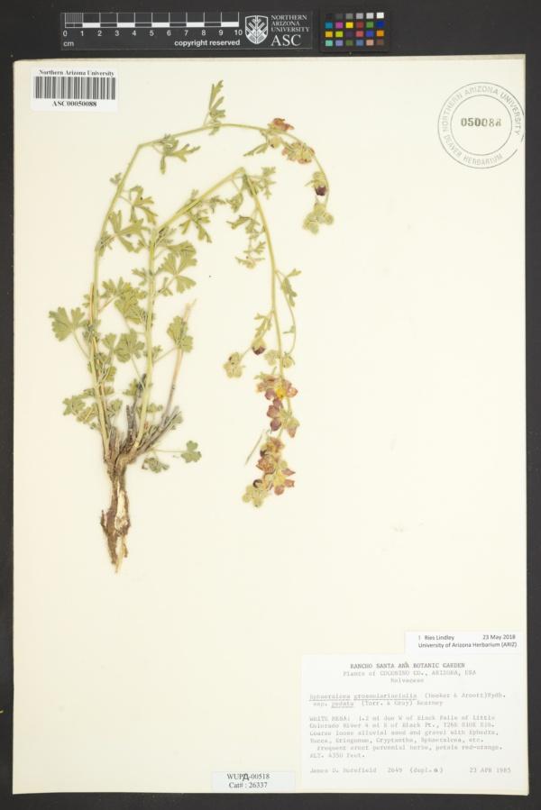 Sphaeralcea grossulariifolia subsp. pedata image