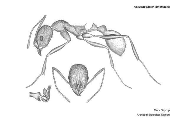 Aphaenogaster lamellidens image