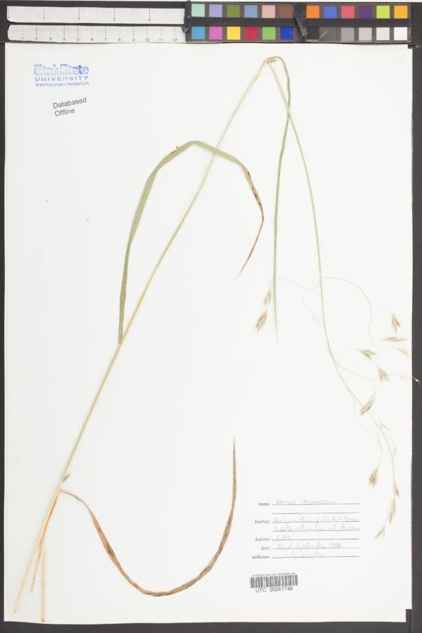 Bromus richardsoni image