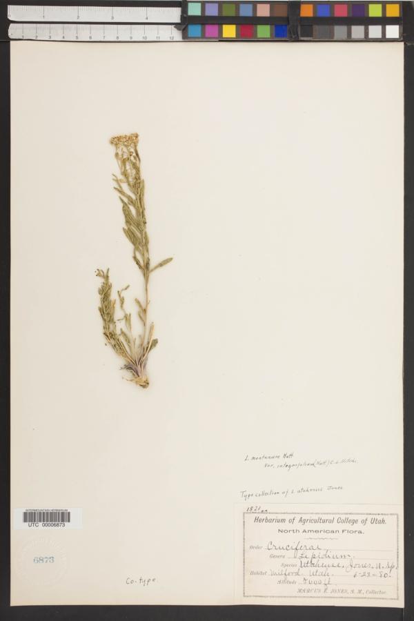 Lepidium utahense image