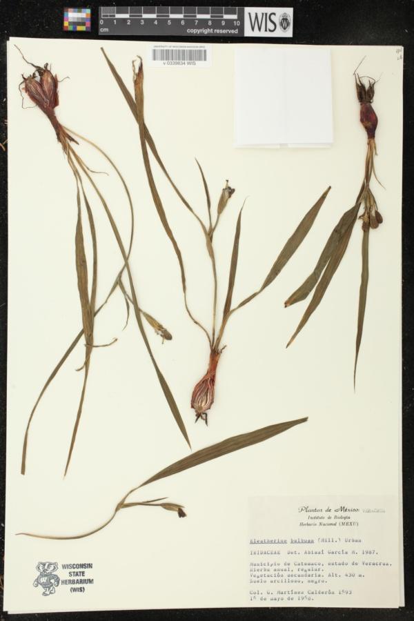 Eleutherine bulbosa image