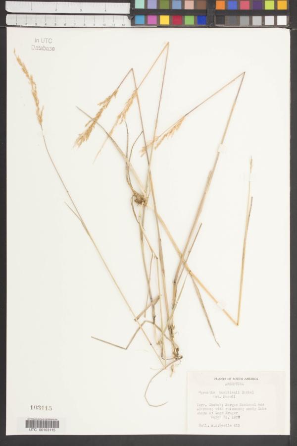 Agrostis buchtienii image