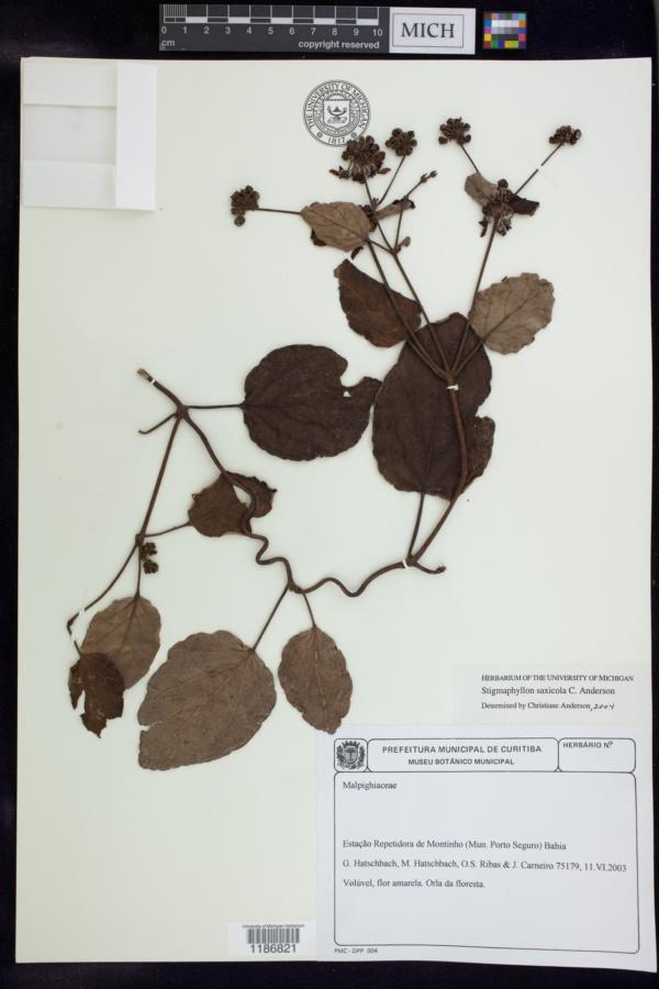 Stigmaphyllon saxicola image
