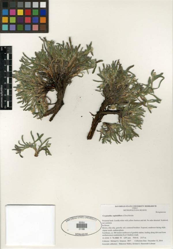 Cryptantha capituliflora image