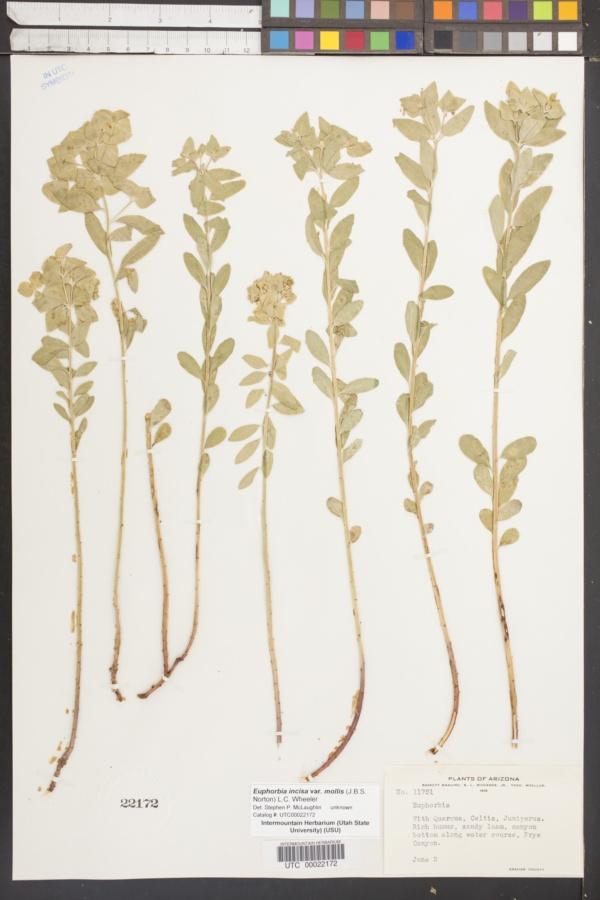 Euphorbia incisa var. mollis image