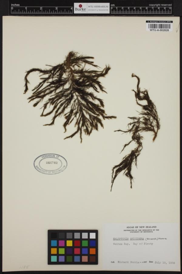 Stypocaulon paniculatum image